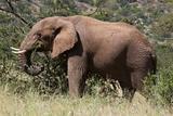 African Elephant (Loxodonta Africana), Samburu National Reserve, Kenya, East Africa, Africa Photographic Print by Sergio Pitamitz