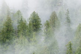 Mist Covered Pine Trees in Great Bear Rainforest, British Columbia, Canada, North America Photographic Print by Michael DeFreitas
