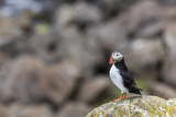 Atlantic Puffin (Common Puffins) (Fratercula Arctica), Flatey Island, Iceland, Polar Regions Photographic Print by Michael Nolan