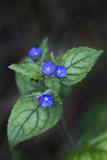 Green Alkanet (Pentaglottis Sempervirens), Northumberland, England, United Kingdom, Europe Photographic Print by Ann and Steve Toon