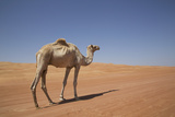 Camel in the Desert, Wahiba, Oman, Middle East Photographic Print by Angelo Cavalli