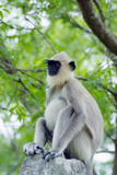 Tufted Grey Langurs (Semnopithecus Priam), Polonnaruwa, North Central Province, Sri Lanka, Asia Photographic Print by Christian Kober