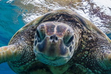 Green Sea Turtle (Chelonia Mydas) Underwater, Maui, Hawaii, United States of America, Pacific Photographic Print by Michael Nolan