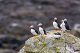Atlantic Puffins (Common Puffins) (Fratercula Arctica), Flatey Island, Iceland, Polar Regions Photographic Print by Michael Nolan