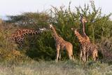 Masai Giraffe (Giraffa Camelopardalis), Samburu National Reserve, Kenya, East Africa, Africa Photographic Print by Sergio Pitamitz