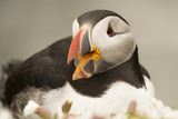 Puffin with Gaping Beak, Wales, United Kingdom, Europe Photographic Print by Andrew Daview
