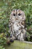 Tawny Owl (Strix Aluco), Captive, United Kingdom, Europe Photographic Print by Ann and Steve Toon