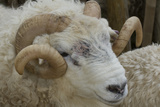Dartmoor Sheep Photographie par James Emmerson