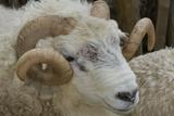 Dartmoor Sheep Fotoprint van James Emmerson