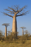 Baobabs (Adansonia Grandidieri), Morondava, Madagascar, Africa Photographic Print by Gabrielle and Michel Therin-Weise
