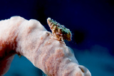 Hermit Crab on a Sponge, Dominica, West Indies, Caribbean, Central America Photographic Print by Lisa Collins