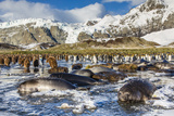 Southern Elephant Seal (Mirounga Leonina) Pups Photographic Print by Michael Nolan