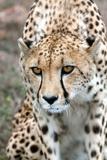 Cheetah Approaching Prey, Western Cape, South Africa, Africa Fotografie-Druck von Fiona Ayerst