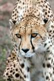 Cheetah Approaching Prey, Western Cape, South Africa, Africa Photographic Print by Fiona Ayerst