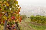 Vineyards Above Spitz an Der Danau, Wachau, Austria, Europe Lámina fotográfica por Miles Ertman