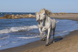 Camargue Horses Running on the Beach, Bouches Du Rhone, Provence, France, Europe Reproduction photographique par Gabrielle and Michel Therin-Weise