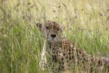 Cheetah (Acynonix Jubatus), Masai Mara National Reserve, Kenya, East Africa, Africa Photographic Print by Sergio Pitamitz