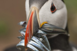 Puffin with Sand Eels in Beak, Wales, United Kingdom, Europe Photographic Print by Andrew Daview