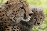 Cheetah (Acynonix Jubatus) and Cub  Masai Mara National Reserve  Kenya  East Africa  Africa