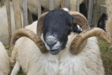 Dartmoor Sheep Photographic Print by James Emmerson