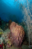 Giant Barrel Sponge, Dominica, West Indies, Caribbean, Central America Photographic Print by Lisa Collins