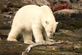 Polar Bear Feeding on a Seal Carcass, Button Islands, Labrador, Canada, North America Photographic Print by Gabrielle and Michel Therin-Weise