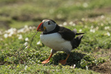 Puffin Collecting Nesting Material, Wales, United Kingdom, Europe Photographic Print by Andrew Daview