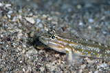 Bridled Goby (Coryphopterus Glaucofraenum), Dominica, West Indies, Caribbean, Central America Photographic Print by Lisa Collins
