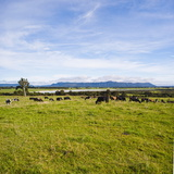 Herd of Cows on Farmland on the West Coast, South Island, New Zealand, Pacific Photographic Print by Matthew Williams-Ellis