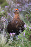 Red Grouse (Lagopus Lagopus) Male, in Heather, County Durham, England, United Kingdom, Europe Photographic Print by Ann and Steve Toon