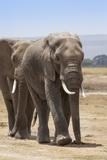 African Elephants (Loxodonta Africana), Amboseli National Park, Kenya, East Africa, Africa Photographic Print by Ann and Steve Toon