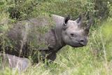 Black Rhino (Diceros Bicornis), Masai Mara, Kenya, East Africa, Africa Photographic Print by Ann and Steve Toon