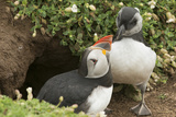 Adult Puffin and Puffling at Entrance to Burrow, Wales, United Kingdom, Europe Photographic Print by Andrew Daview