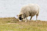 Domesticated Sheep (Ovis Aries), Flatey Island, Iceland, Polar Regions Photographic Print by Michael Nolan