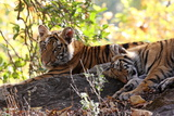 Bengal Tiger (Panthera Tigris Tigris), Bandhavgarh National Park, Madhya Pradesh, India, Asia Photographic Print by Kim Sullivan