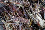 Lobsters, Anegada Island, British Virgin Islands, West Indies, Caribbean, Central America Photographic Print by Jean-Pierre DeMann