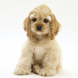 Buff American Cocker Spaniel Pup, China, 10 Weeks, Sitting Photographic Print by Mark Taylor