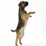 Border Terrier Bitch Puppy, Rusty, 10 Weeks, Jumping Up Photographic Print by Mark Taylor