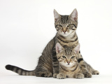 Tabby Kittens, Stanley and Fosset, 3 Months Old, Lounging Together Photographic Print by Mark Taylor