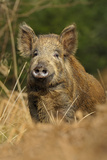 Wild Boar (Sus Scrofa) Female, Forest of Dean, Gloucestershire, UK, March Photographic Print by Andy Rouse