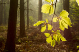 Beech Leaves (Fagus Sylvatica) Backlit at Dawn, the National Forest, Midlands, UK Photographic Print by Ben Hall