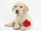 Yellow Labrador Retriever Bitch Puppy, 10 Weeks, Lying with a Red Rose Photographic Print by Mark Taylor