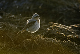 Northern Wheatear (Oenanthe Oenanthe), Ruffled Plumage Feeding, Backlit, Hertfordshire, England, UK Photographic Print by Chris Gomersall