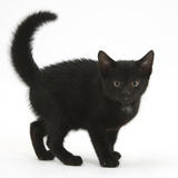 Black Kitten Buxie, 10 Weeks Old, in Defensive Witch's Cat Display Photographic Print by Mark Taylor