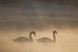Mute Swan (Cygnus Olor) Pair on Water in Winter Dawn Mist, Loch Insh, Cairngorms Np, Highlands, UK Photographie par Peter Cairns