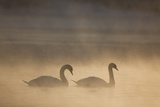 Mute Swan (Cygnus Olor) Pair on Water in Winter Dawn Mist, Loch Insh, Cairngorms Np, Highlands, UK Photographic Print by Peter Cairns