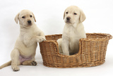 Yellow Labrador Retriever Puppies, 7 Weeks, in a Wicker Dog Basket Fotografisk tryk af Mark Taylor