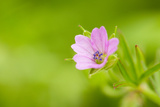 Cranesbill Geranium (Geranium Sp) Flower, Montiagh's Moss, County Antrim, Northern Ireland, UK Photographic Print by Ben Hall