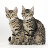 Tabby Kittens, Stanley and Fosset, 3 Months Old, Sitting Together Photographic Print by Mark Taylor