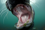 Old Male Grey Seal (Halichoerus Grypus) with Mouth Open Showing Teeth, Lundy Island, England, UK Photographic Print by Alex Mustard